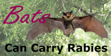 Bats can carry rabies
