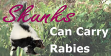 Skunks can carry rabies